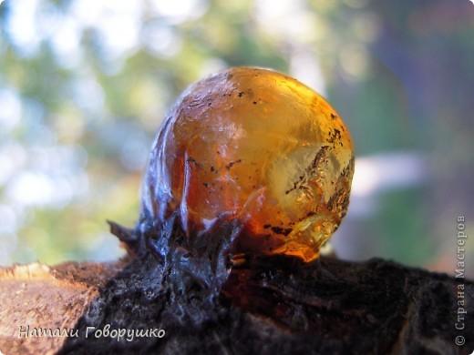 """Всегда нравился янтарь. Красивые легенды связанные с этим камнем... Смола древних деревьев... И однажды меня осенило - так вот же он янтарь! Живой! Еще не упрятанный на сотни столетий под землю! Так началось мое новое увлечение - съемка в макро капель смолы на деревьях. Оказалось - завораживающее зрелище! """"Кусок промытый янтаря, Прозрачный, как заря, Вчерашний выбросил прибой В подарок нам с тобой. Прозрачный, как цветочный мед, Он весь сквозит на свет. Он к нам дошел, к другим дойдет Сквозь сотни тысяч лет. Он выплыл к нам с морского дна, Где тоже жизнь цвела, А в глубине его видна Застывшая пчела. И я сквозь тысячи годов За ней готов в полет: Узнать - с каких она цветов Свой собирала мед. Я жизнь люблю. Она рассказ Развертывает свой. и как мы счастливы сейчас, Лишь знаем мы с тобой. Теперь уже не наугад, Наш опыт разберет - И что такое в жизни яд И что такое мед. Любовь. Ее не взять годам И силой не сломать. Я сам, я сам ее раздам, Чтобы опять, опять Она на радость молодым В прожилках янтаря Сквозь сотни лет пришла к другим, Живым огнем горя.""""                          М. Дудин фото 22"""