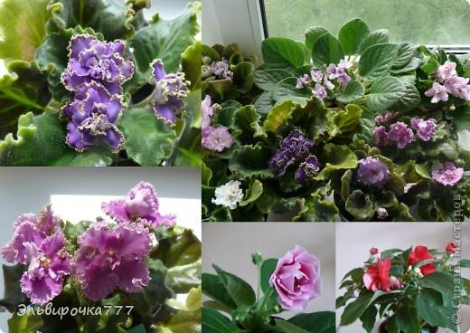 Хочу поделиться красотой и нежностью моих цветущих домочадцев! Все фиалки сортовые, выращенные из листиков фото 2
