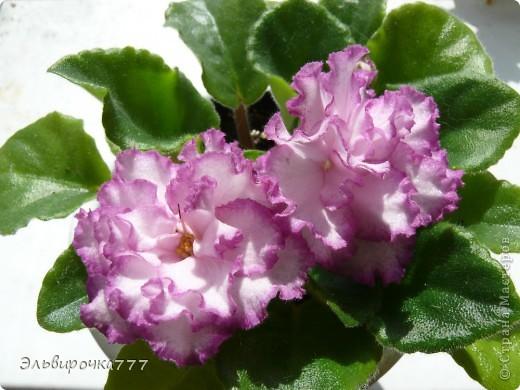 Хочу поделиться красотой и нежностью моих цветущих домочадцев! Все фиалки сортовые, выращенные из листиков фото 6