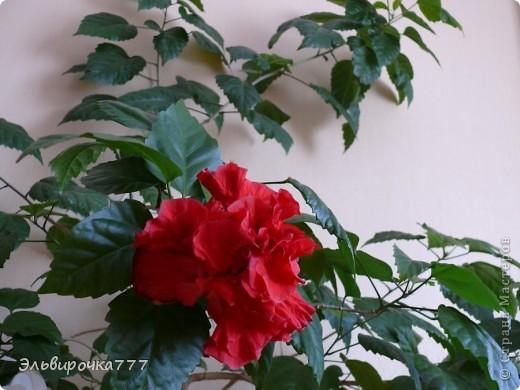Хочу поделиться красотой и нежностью моих цветущих домочадцев! Все фиалки сортовые, выращенные из листиков фото 13