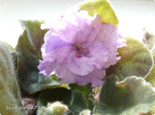Хочу поделиться красотой и нежностью моих цветущих домочадцев! Все фиалки сортовые, выращенные из листиков фото 8