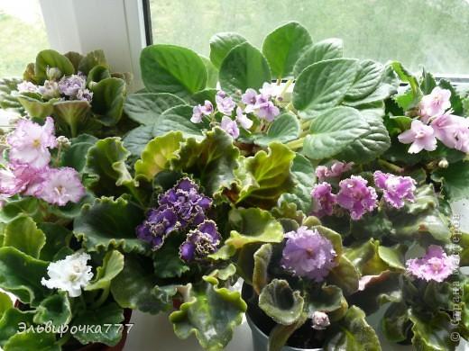 Хочу поделиться красотой и нежностью моих цветущих домочадцев! Все фиалки сортовые, выращенные из листиков фото 10