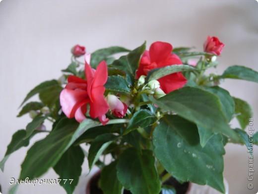 Хочу поделиться красотой и нежностью моих цветущих домочадцев! Все фиалки сортовые, выращенные из листиков фото 14