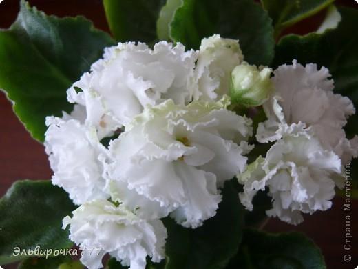 Хочу поделиться красотой и нежностью моих цветущих домочадцев! Все фиалки сортовые, выращенные из листиков фото 7