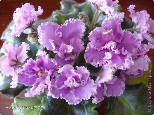 Хочу поделиться красотой и нежностью моих цветущих домочадцев! Все фиалки сортовые, выращенные из листиков фото 4