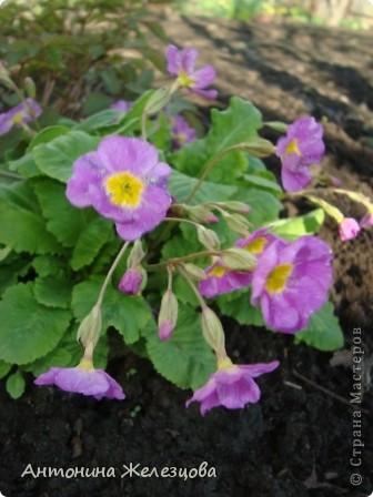 Приглашаю в мой сад. Самый разгар лета, а я начинаю репортаж с весенних цветов. Представляю несколько сортов нарциссов. фото 5