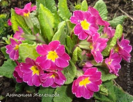 Приглашаю в мой сад. Самый разгар лета, а я начинаю репортаж с весенних цветов. Представляю несколько сортов нарциссов. фото 6