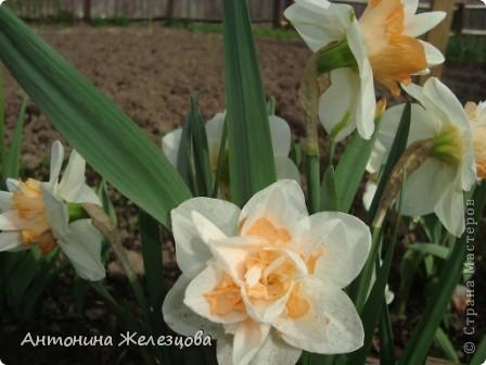 Приглашаю в мой сад. Самый разгар лета, а я начинаю репортаж с весенних цветов. Представляю несколько сортов нарциссов. фото 2