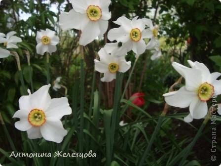 Приглашаю в мой сад. Самый разгар лета, а я начинаю репортаж с весенних цветов. Представляю несколько сортов нарциссов. фото 4