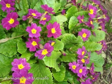Приглашаю в мой сад. Самый разгар лета, а я начинаю репортаж с весенних цветов. Представляю несколько сортов нарциссов. фото 7