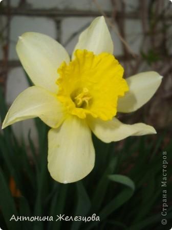 Приглашаю в мой сад. Самый разгар лета, а я начинаю репортаж с весенних цветов. Представляю несколько сортов нарциссов. фото 3