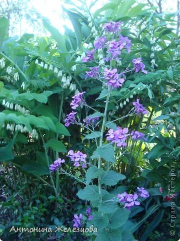 Приглашаю в мой сад. Самый разгар лета, а я начинаю репортаж с весенних цветов. Представляю несколько сортов нарциссов. фото 11