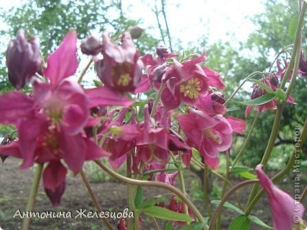 Приглашаю в мой сад. Самый разгар лета, а я начинаю репортаж с весенних цветов. Представляю несколько сортов нарциссов. фото 13