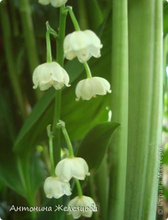 Приглашаю в мой сад. Самый разгар лета, а я начинаю репортаж с весенних цветов. Представляю несколько сортов нарциссов. фото 15