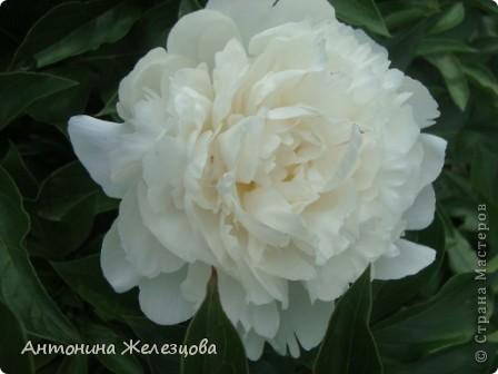Приглашаю в мой сад. Самый разгар лета, а я начинаю репортаж с весенних цветов. Представляю несколько сортов нарциссов. фото 22