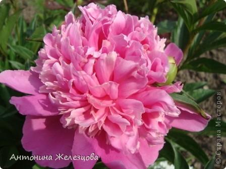 Приглашаю в мой сад. Самый разгар лета, а я начинаю репортаж с весенних цветов. Представляю несколько сортов нарциссов. фото 24