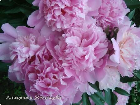 Приглашаю в мой сад. Самый разгар лета, а я начинаю репортаж с весенних цветов. Представляю несколько сортов нарциссов. фото 25