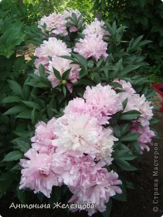 Приглашаю в мой сад. Самый разгар лета, а я начинаю репортаж с весенних цветов. Представляю несколько сортов нарциссов. фото 27