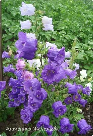 Приглашаю в мой сад. Самый разгар лета, а я начинаю репортаж с весенних цветов. Представляю несколько сортов нарциссов. фото 28