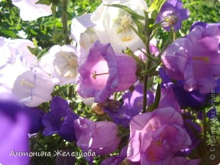 Приглашаю в мой сад. Самый разгар лета, а я начинаю репортаж с весенних цветов. Представляю несколько сортов нарциссов. фото 30
