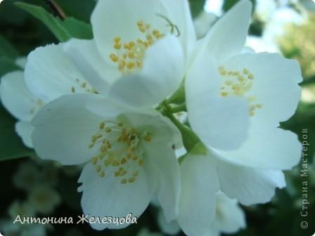 Приглашаю в мой сад. Самый разгар лета, а я начинаю репортаж с весенних цветов. Представляю несколько сортов нарциссов. фото 58