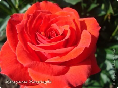 Приглашаю в мой сад. Самый разгар лета, а я начинаю репортаж с весенних цветов. Представляю несколько сортов нарциссов. фото 32