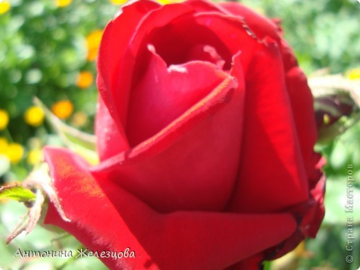 Приглашаю в мой сад. Самый разгар лета, а я начинаю репортаж с весенних цветов. Представляю несколько сортов нарциссов. фото 33