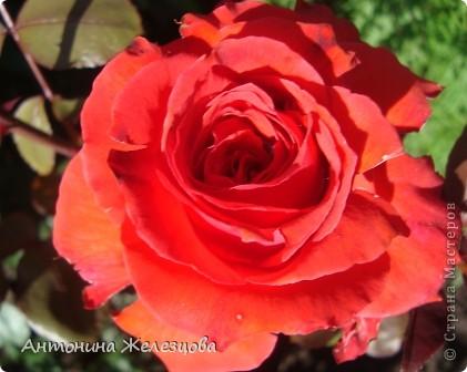 Приглашаю в мой сад. Самый разгар лета, а я начинаю репортаж с весенних цветов. Представляю несколько сортов нарциссов. фото 34