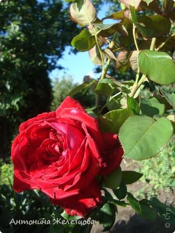 Приглашаю в мой сад. Самый разгар лета, а я начинаю репортаж с весенних цветов. Представляю несколько сортов нарциссов. фото 35
