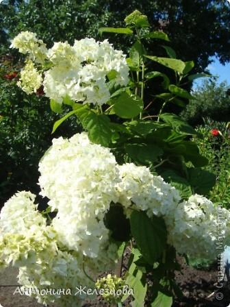 Приглашаю в мой сад. Самый разгар лета, а я начинаю репортаж с весенних цветов. Представляю несколько сортов нарциссов. фото 43