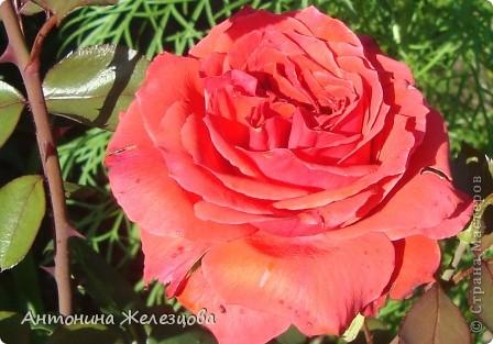 Приглашаю в мой сад. Самый разгар лета, а я начинаю репортаж с весенних цветов. Представляю несколько сортов нарциссов. фото 37