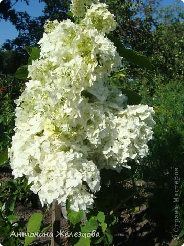 Приглашаю в мой сад. Самый разгар лета, а я начинаю репортаж с весенних цветов. Представляю несколько сортов нарциссов. фото 44