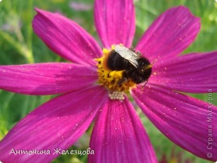 Приглашаю в мой сад. Самый разгар лета, а я начинаю репортаж с весенних цветов. Представляю несколько сортов нарциссов. фото 41