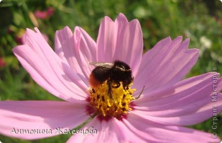 Приглашаю в мой сад. Самый разгар лета, а я начинаю репортаж с весенних цветов. Представляю несколько сортов нарциссов. фото 42