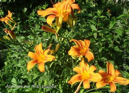 Приглашаю в мой сад. Самый разгар лета, а я начинаю репортаж с весенних цветов. Представляю несколько сортов нарциссов. фото 49