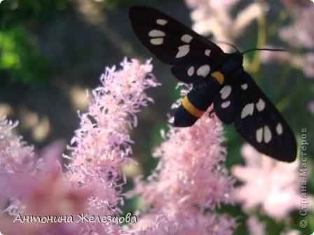 Приглашаю в мой сад. Самый разгар лета, а я начинаю репортаж с весенних цветов. Представляю несколько сортов нарциссов. фото 56