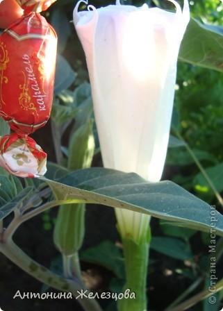Приглашаю в мой сад. Самый разгар лета, а я начинаю репортаж с весенних цветов. Представляю несколько сортов нарциссов. фото 45