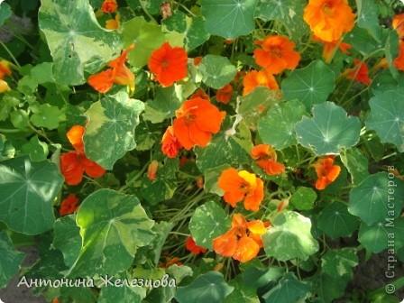 Приглашаю в мой сад. Самый разгар лета, а я начинаю репортаж с весенних цветов. Представляю несколько сортов нарциссов. фото 57