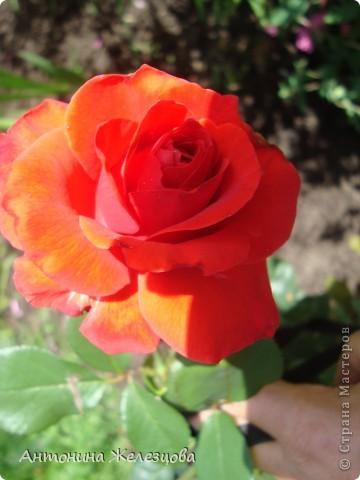 Приглашаю в мой сад. Самый разгар лета, а я начинаю репортаж с весенних цветов. Представляю несколько сортов нарциссов. фото 38
