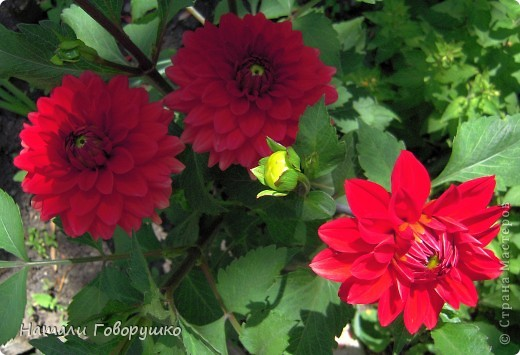 """Об этих прекрасных цветах было сложено множество историй, мифов и легенд. Издавна люди поклонялись лилии как одному из самых прекрасных созданий на земле. Даже пожелание благополучия звучало так: """"Пусть твой путь будет усыпан розами и лилиями"""". Символ надежды в Древней Греции, мира и непорочности на Руси, а во Франции эти цветы обозначали - милосердие, сострадание и правосудие. фото 14"""
