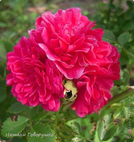 """Об этих прекрасных цветах было сложено множество историй, мифов и легенд. Издавна люди поклонялись лилии как одному из самых прекрасных созданий на земле. Даже пожелание благополучия звучало так: """"Пусть твой путь будет усыпан розами и лилиями"""". Символ надежды в Древней Греции, мира и непорочности на Руси, а во Франции эти цветы обозначали - милосердие, сострадание и правосудие. фото 21"""