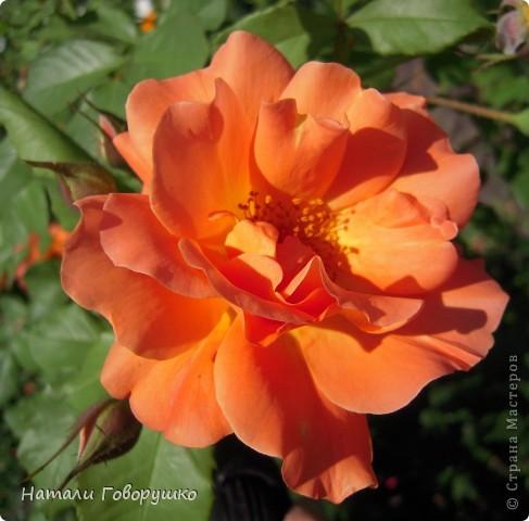 """Об этих прекрасных цветах было сложено множество историй, мифов и легенд. Издавна люди поклонялись лилии как одному из самых прекрасных созданий на земле. Даже пожелание благополучия звучало так: """"Пусть твой путь будет усыпан розами и лилиями"""". Символ надежды в Древней Греции, мира и непорочности на Руси, а во Франции эти цветы обозначали - милосердие, сострадание и правосудие. фото 29"""