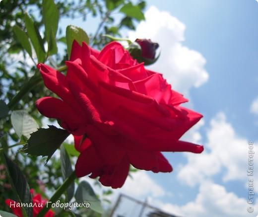 """Об этих прекрасных цветах было сложено множество историй, мифов и легенд. Издавна люди поклонялись лилии как одному из самых прекрасных созданий на земле. Даже пожелание благополучия звучало так: """"Пусть твой путь будет усыпан розами и лилиями"""". Символ надежды в Древней Греции, мира и непорочности на Руси, а во Франции эти цветы обозначали - милосердие, сострадание и правосудие. фото 3"""