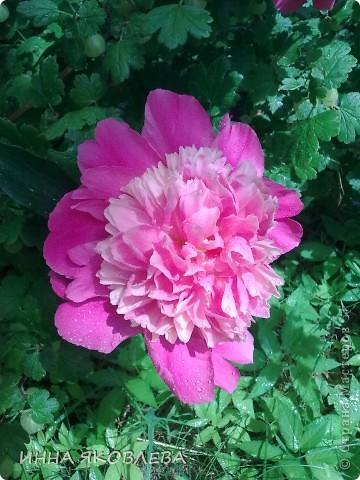 Вот такую красоту я вижу каждый день, выходя из дома! Обожаю лилии, они неприхотливы и потрясающе красивы. фото 2