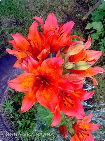 Вот такую красоту я вижу каждый день, выходя из дома! Обожаю лилии, они неприхотливы и потрясающе красивы. фото 3