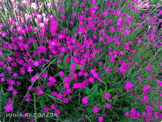 Вот такую красоту я вижу каждый день, выходя из дома! Обожаю лилии, они неприхотливы и потрясающе красивы. фото 14