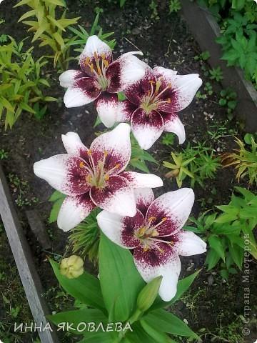 Вот такую красоту я вижу каждый день, выходя из дома! Обожаю лилии, они неприхотливы и потрясающе красивы. фото 4