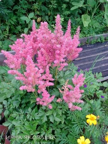 Вот такую красоту я вижу каждый день, выходя из дома! Обожаю лилии, они неприхотливы и потрясающе красивы. фото 13