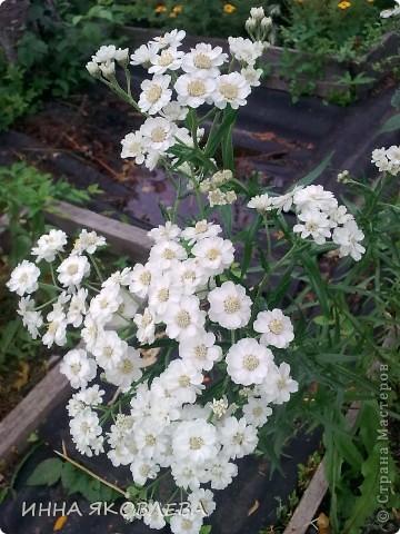 Вот такую красоту я вижу каждый день, выходя из дома! Обожаю лилии, они неприхотливы и потрясающе красивы. фото 16
