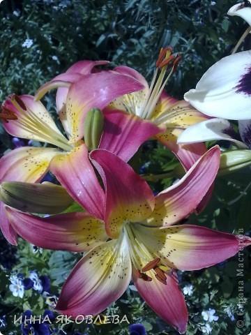 Вот такую красоту я вижу каждый день, выходя из дома! Обожаю лилии, они неприхотливы и потрясающе красивы. фото 7